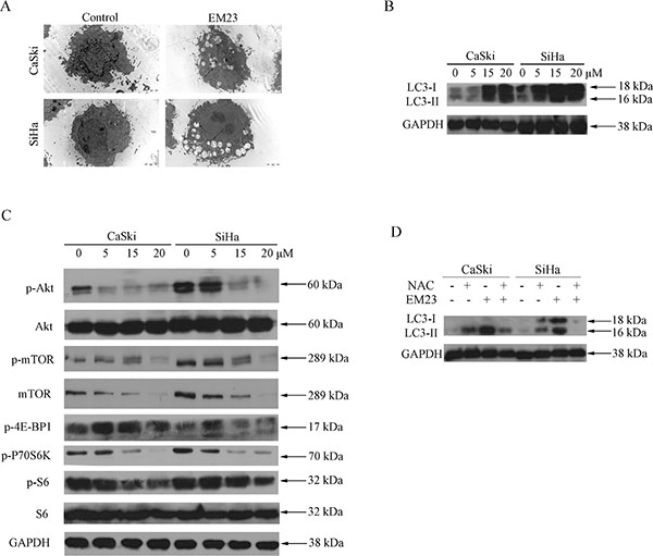 EM23 induced autophagy and inhibited Akt/mTOR signaling pathway in CaSki and SiHa cells.
