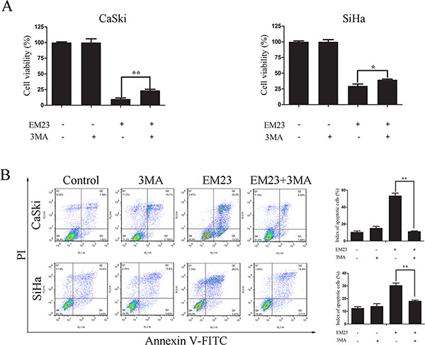 Effects of 3-MA on EM23-induced cell growth inhibition and apoptosis.