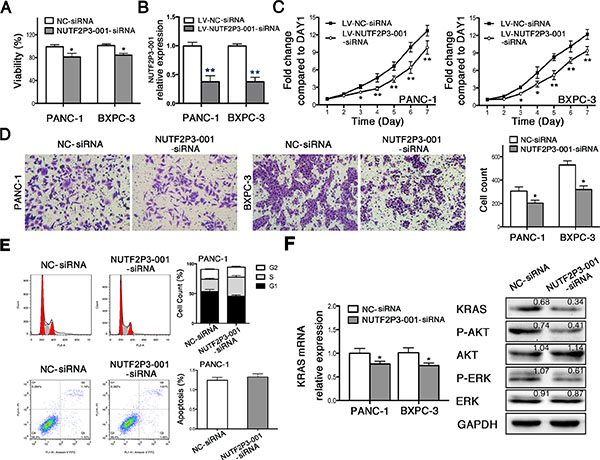 SiRNA-mediated knockdown of lncRNA-NUTF2P3-001 reduced viability, proliferation and invasive ability, while induced S phase arresting in pancreatic cancer cell.