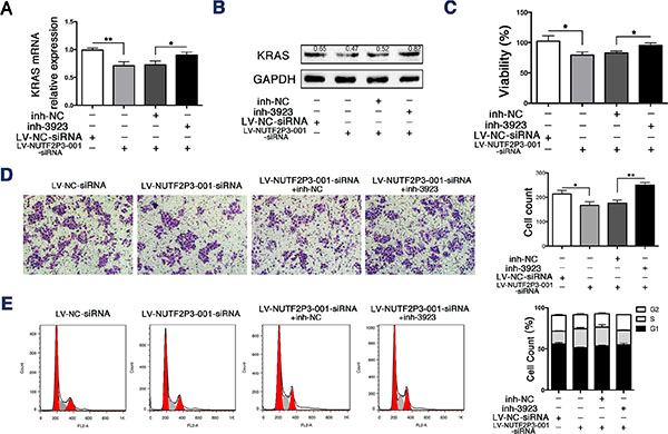 The miR-3923 inhibitor rescued the inhibiting effects of LV-NUTF2P3-001-siRNA on PANC-1 cells.