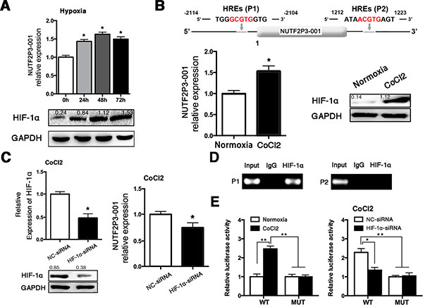 Hypoxia treatment upregulated the expression of lncRNA-NUTF2P3-001 in PANC-1 cells.