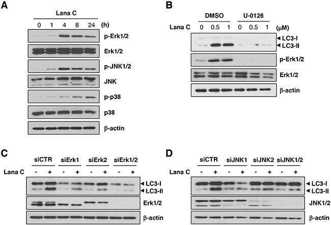 Lanatoside C induced autophagy through Erk1/2 and JNK1/2-mediated mechanisms.