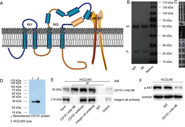 Characterization of CD151 mAb 9B.