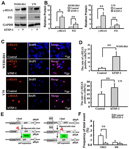 hTSP-1 induces DNA double-strand breaks and affects the NHEJ in WERI-Rb1 and Y79 cells.