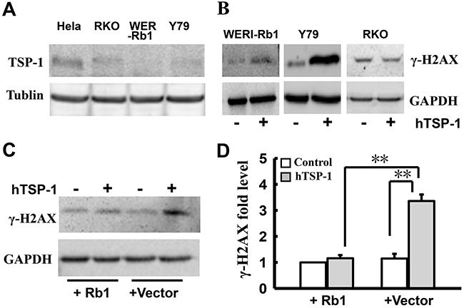 Attenuating DNA NHEJ repair by TSP-1 is specific to WERI-Rb1 cells.