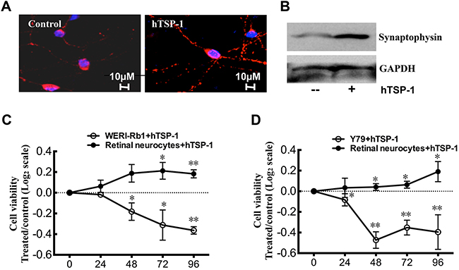 hTSP-1 inhibits WERI-Rb1 and Y79 cells , whereas, promote retina neurocytes survival in co-culture.