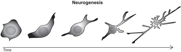Figure 1 : Drawing of a stem cell differentiating into a mature neuron, with well developed axon and dendrites.