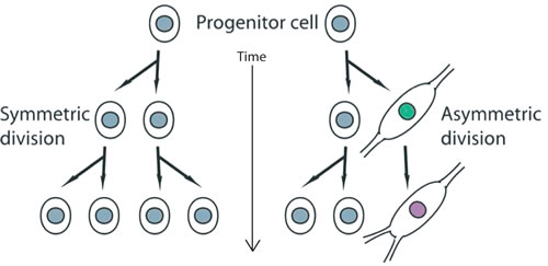 Figure 2 : Schemata depicting the organization of proliferating stem cells (progenitor cells in this context) undergoing symmetric cell divisions (on the left side of the panel).
