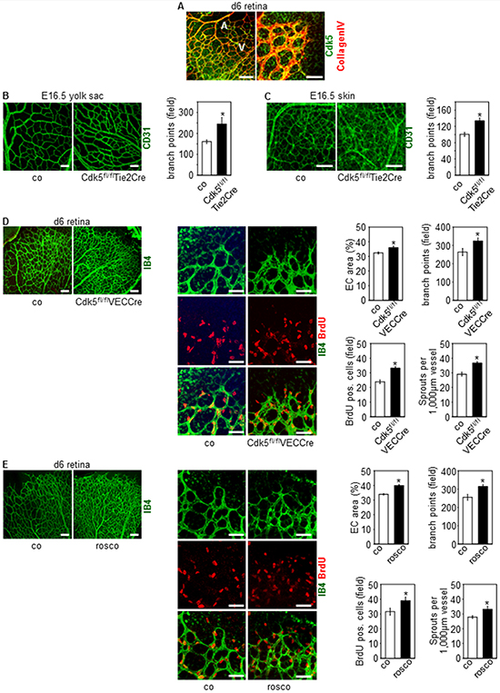 Knockdown and pharmacological inhibition of Cdk5 in the endothelium induces hypervascularization.