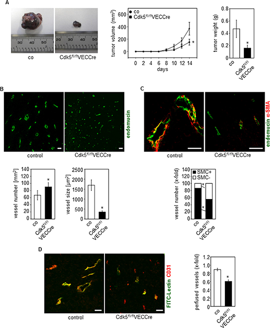 Endothelial Cdk5 knockdown reduces tumor growth with hypervascularization of tumors with non-functional vessels.