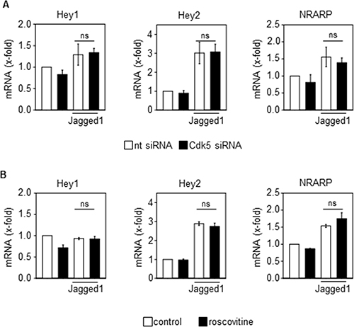 Cdk5 does not regulate the Jagged1-induced activation of the Notch pathway.