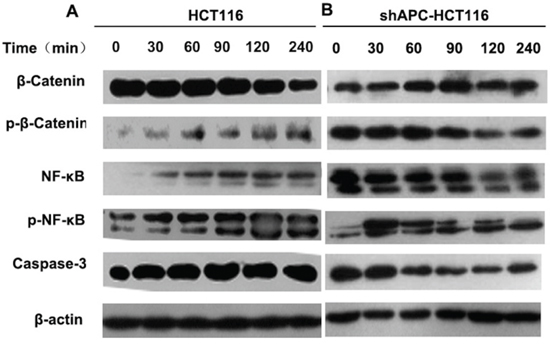 Cross-regulation between β-catenin and TLR4/NF-κB.
