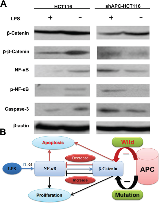 The β-catenin and NF-κB interaction in vivo.