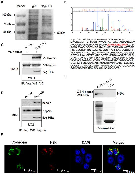 HBx binds to hepsin in vivo and in vitro.