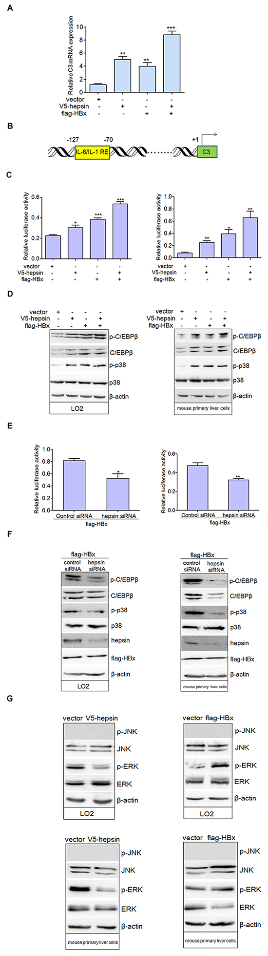 HBx synergizes with hepsin to promote C3 promoter activation.