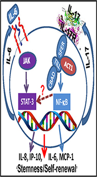 Schematic representation showing potential mechanism of IL-17R-mediated stimulation of GSCs.