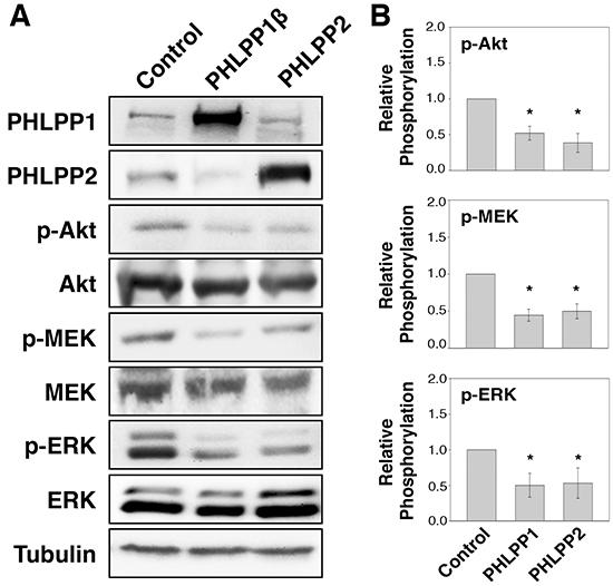 Overexpression of PHLPP isoforms inhibit PI3K/Akt and MEK/ERK signaling.