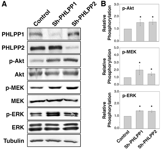 Loss of PHLPP expression enhances PI3K/Akt and MEK/ERK signaling.