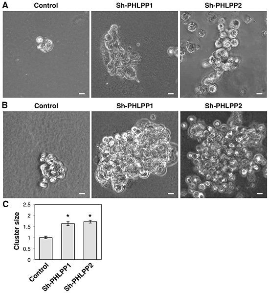 Knockdown of PHLPP promotes the invasive growth of pancreatic cancer cells in 3D culture.