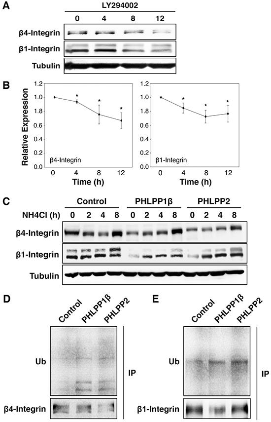 Inhibition of PI3K/Akt pathway promotes lysosome-mediated integrin degradation.