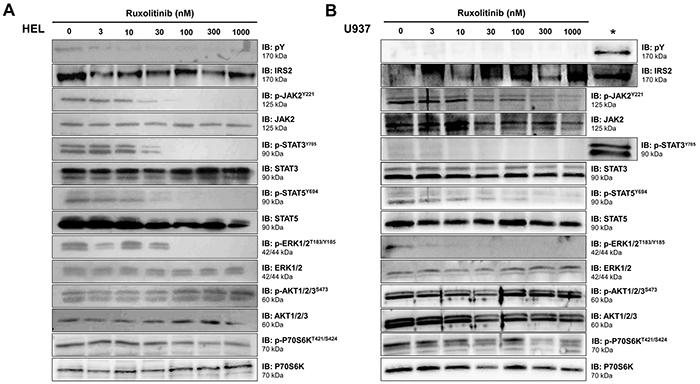 Ruxolitinib decreases IRS2 phosphorylation in JAK2V617F cells.