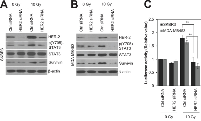 HER2 depletion radiosensitized HR-/HER2+ breast cancer cells by modulating STAT3 activity.