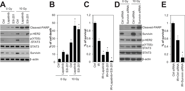 Inhibition of HER2, STAT3, and survivin radiosensitized HR-/HER2+ SKBR3 breast cancer cells.