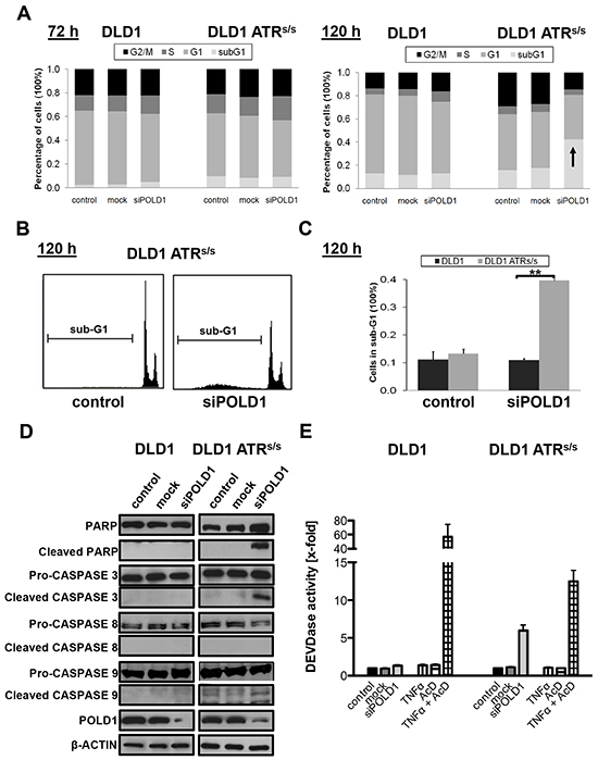 ATR genotype-dependent effects of POLD1 depletion on cell cycle profile and apoptosis.