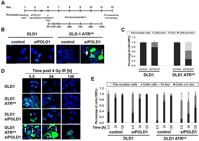 ATR and POLD1 knockdown-dependent γ-H2AX staining.