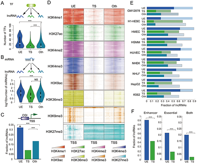 UE lncRNAs are strictly regulated by TF, miRNAs, and epigenetic modification.