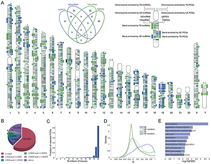 Functions of UE lncRNAs can be predicted based on their neighboring protein coding genes.
