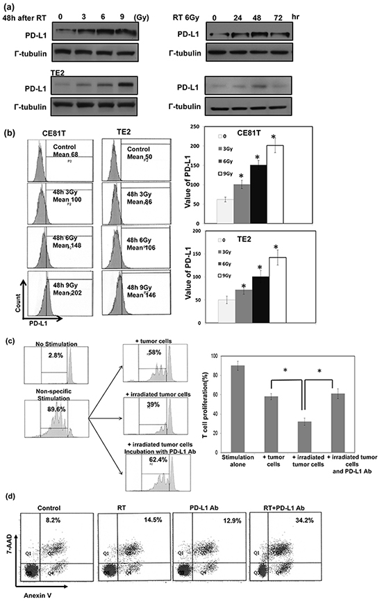 Correlation between irradiation, PD-L1 in cancer cells, and the function of cytotoxic T cells.