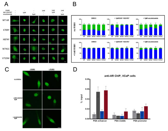 Effects of BAY 1024767 and enzalutamide on AR sub-cellular localization and chromatin binding.