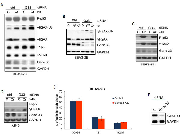 Gene 33 depletion elevates Cr(VI)-induced DNA damage but does not affect cell cycle progression.