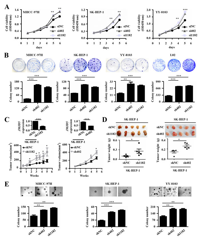 The effects of JMJD5 knockdown on the proliferation of HCC cells.