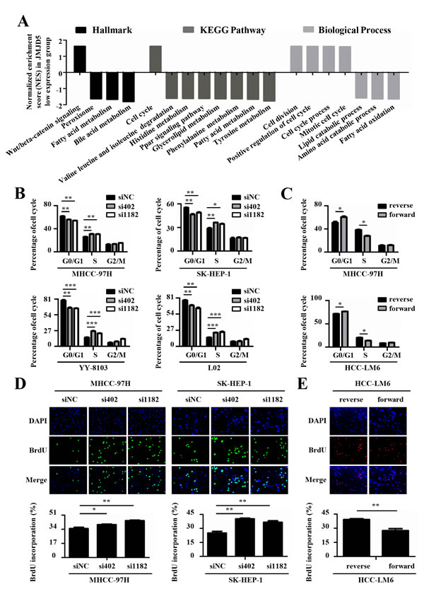 JMJD5 suppresses the cell cycle progression of HCC cells.