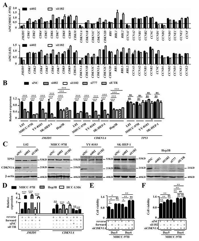JMJD5 influences HCC cell proliferation primarily by regulating CDKN1A transcription.