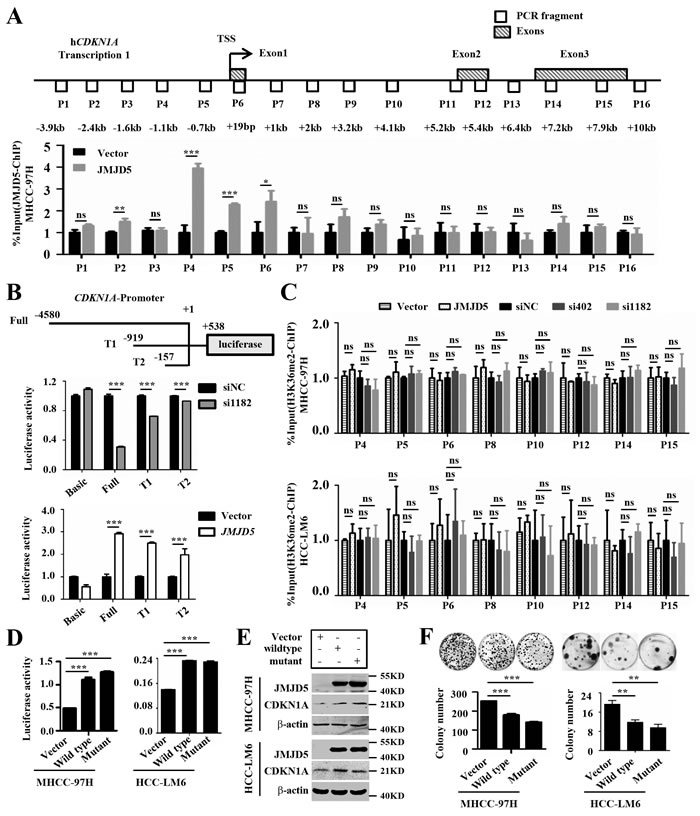 JMJD5 activates CDKN1A transcription by binding the CDKN1A promoter.
