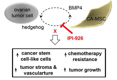 Schematic of ovarian tumor cell:CA-MSC hedgehog:BMP4 feed forward loop.