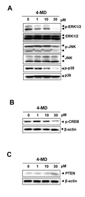 Effects of 4-MD on the MAPKs pathway and PTEN expression.