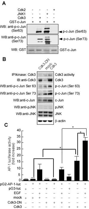 Cdk3 activates AP-1 through phosphorylating c-Jun.
