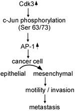 Schematic illustration of Cdk3-mediating colorectal cancer metastasis.