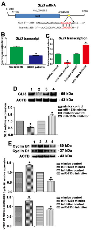 Figure 7 : The expression changes of GLI3, Cyclin B1, and Cyclin D1 in human Sertoli cells treated with miR-133b mimic or inhibitor.