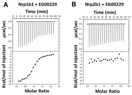 Interaction of EG00229 with recombinant Nrp1b1 and Nrp2b1 domain measured by ITC.