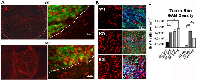 Nrp1 ablation or inhibition in microglia/macrophages increases their density within the glioma border.
