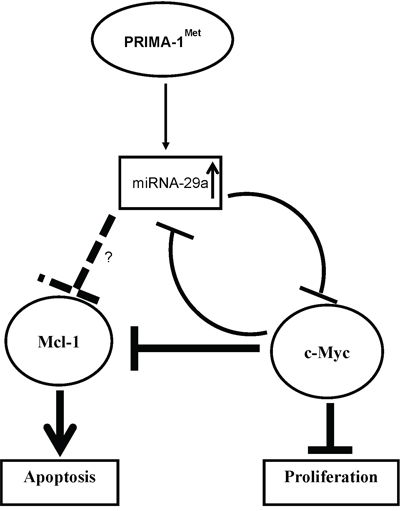 Scheme of proposed mechanism for regulation of c-Myc by miRNA on PRIMA-1Met treatment.