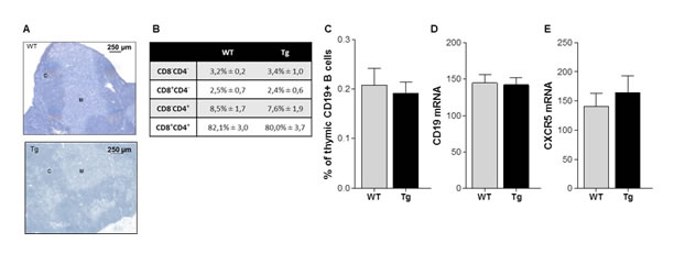 Thymic structure and proportion of T and B cells in K5-CXCL13 Tg mice.