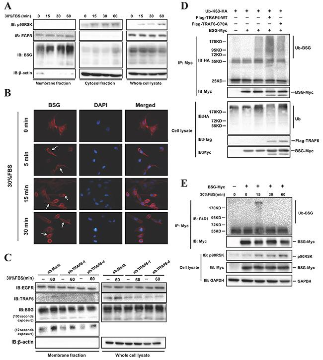 TRAF6 regulates BSG ubiquitination and plasma membrane recruitment.