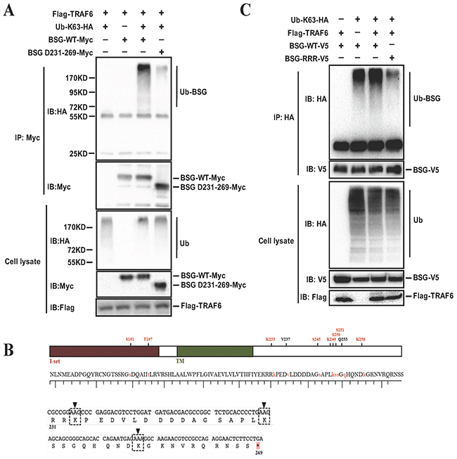 Lysine residues at BSG cytoplasmic domain are responsible for BSG ubiquitination mediated by TRAF6.