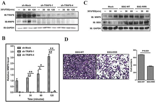 TRAF6-BSG axis is required for MMP9 induction.